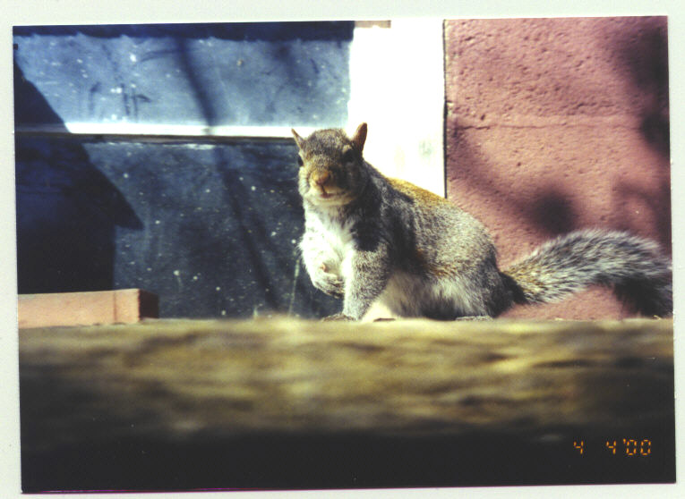 JB, Eastern Grey Squirrel - a special guy!