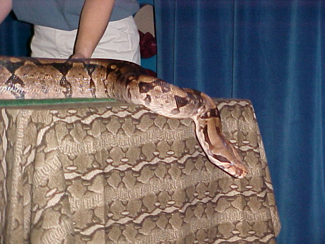 Gladys, the Columbian Red-tail Boa