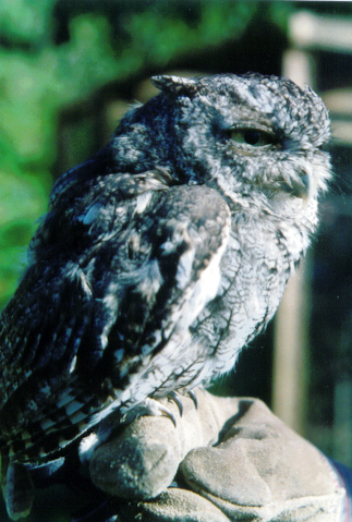 Grey-phase Eastern Screech owl