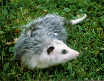 Virginia Opossum on her way back into the wild