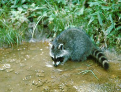 Raccoon at release site