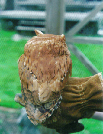 Red-phase Eastern Screech owl - back view