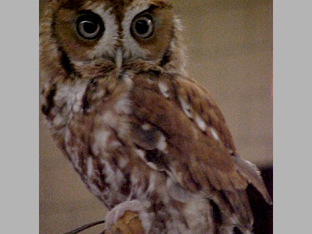 Scarlett, the red-phase Screech owl